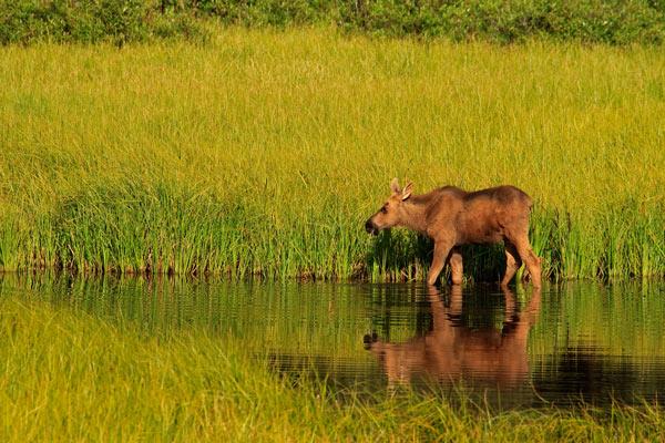 Jeune orignal dans un marais en fin de journée