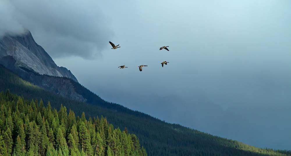 Bernaches du Canada fuyant l'orage