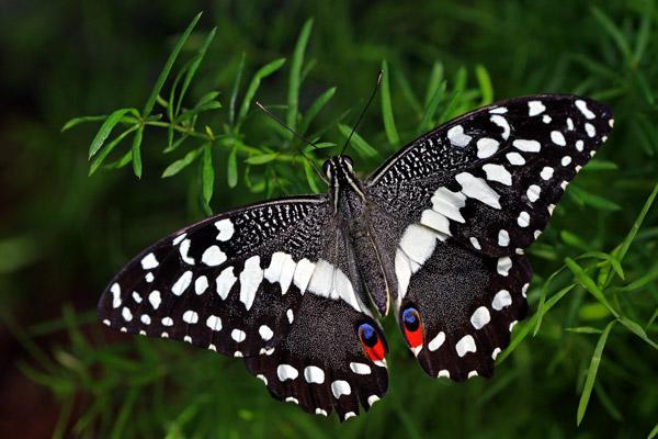 Papilio demodocus ailes ouvertes