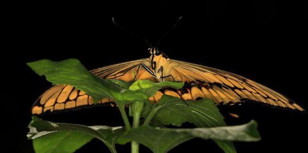 Papilio demodocus de face