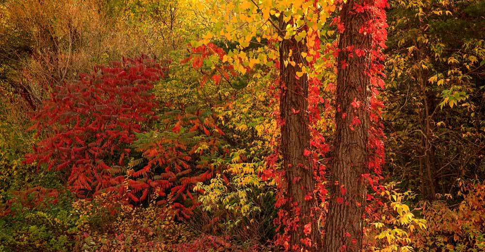 Vigne rouge et vinaigrier à l'automne