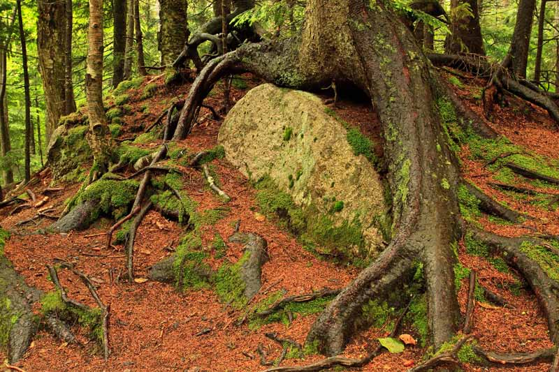 Symbiose - Racines et roche