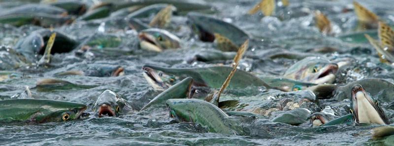 Remontée du saumon - pano