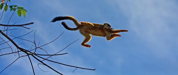 Singes-écureuil femelle et juvénile en saut