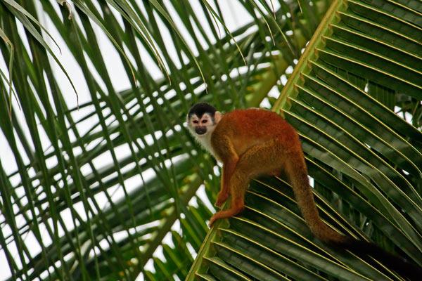 Singe-écureuil sur une palme géante