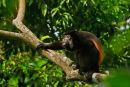 Singe hurleur assis sur une branche