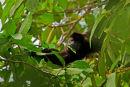 Singe hurleur mangeant des feuilles