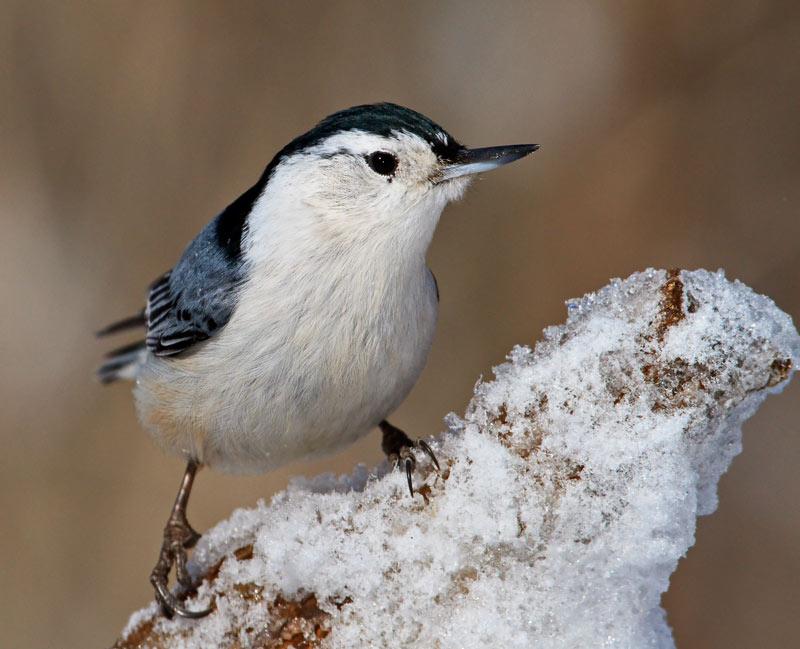 Sitelle à poitrine blanche en hiver