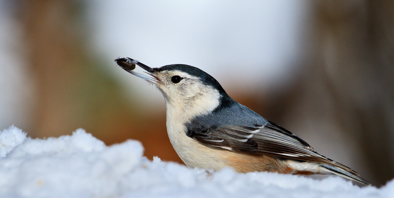 Sitelle à poitrine blanche se nourrissant en hiver