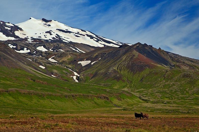 Moutons devant le Snaefellsjokull