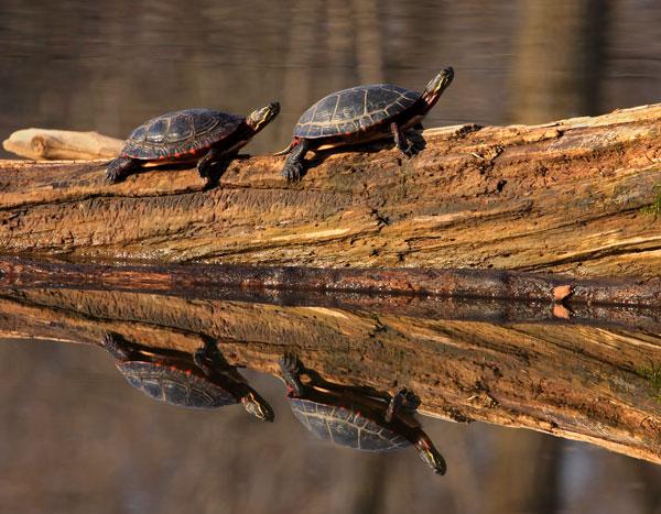 Quatuor de tortues peintes