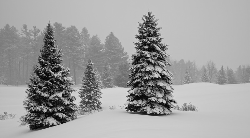 Trois sapins en hiver