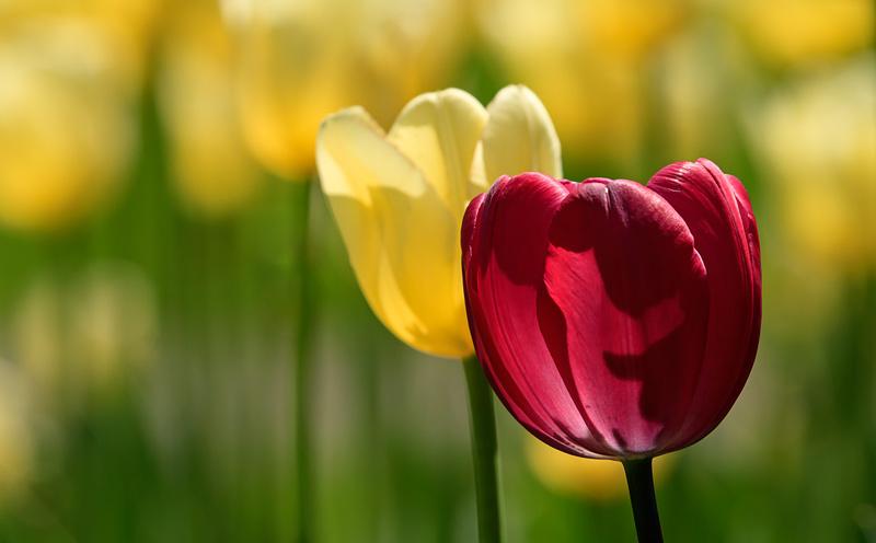 Tulipe mauve parmi tulipes jaunes à contrejour