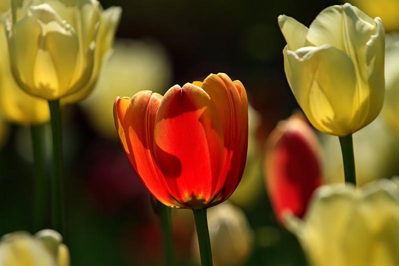 Tulipe orange parmi tulipes jaunes à contrejour