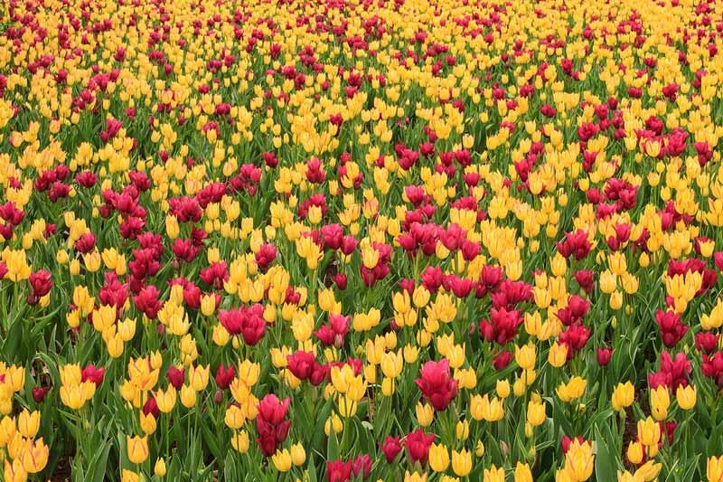 Mosaïque de tulipes jaunes et mauves
