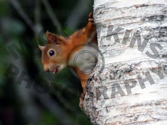 Red Squirrel (eating nut)