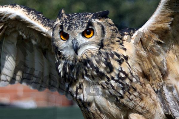 Bengal Eagle Owl (female)