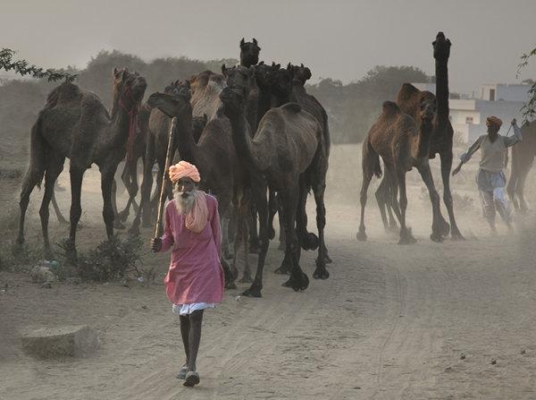 camel herder 2 pushkar