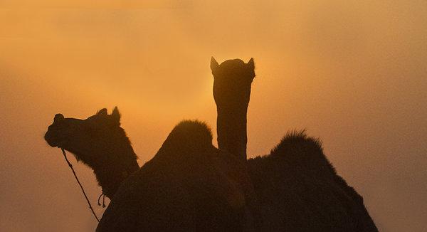 camel silhouette pushkar