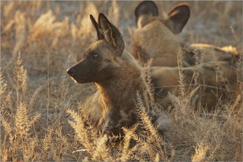 african wild dogs, botswana