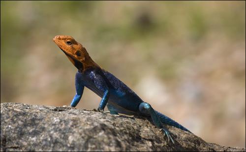 agama lizard,tanzania