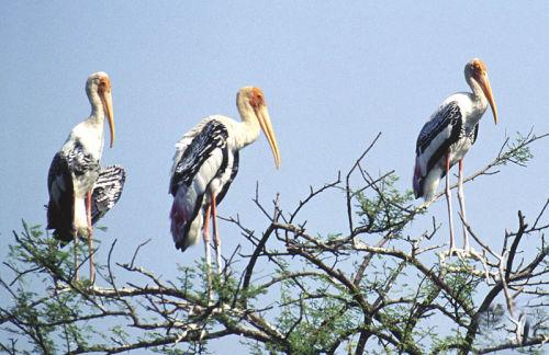 bharatpur storks