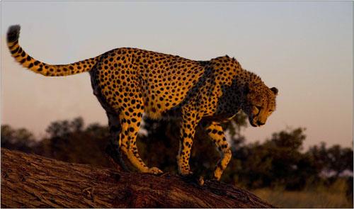 cheetah,botswana