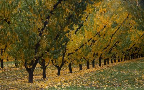 cromwell orchard