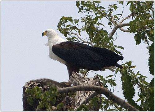 fish eagle,tanzania