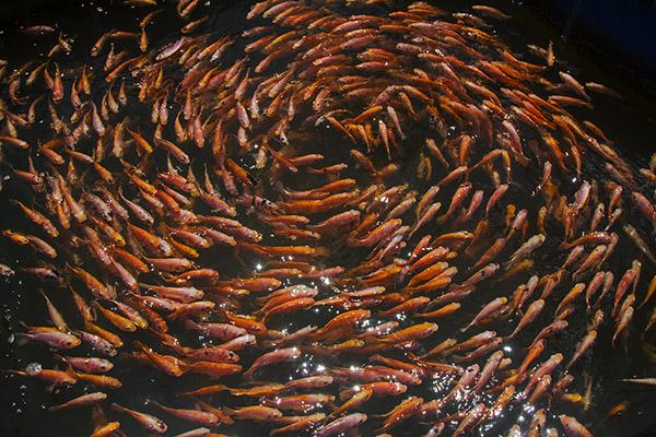 fish spiral