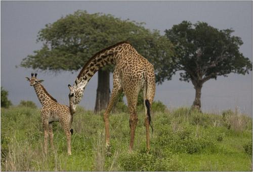 giraffe mum and baby,tanzania