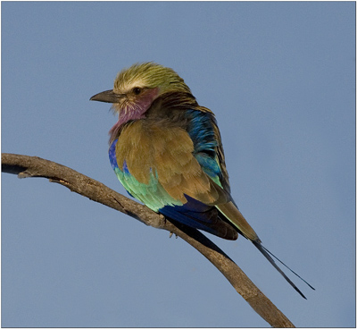 lilac breasted roller,botswana