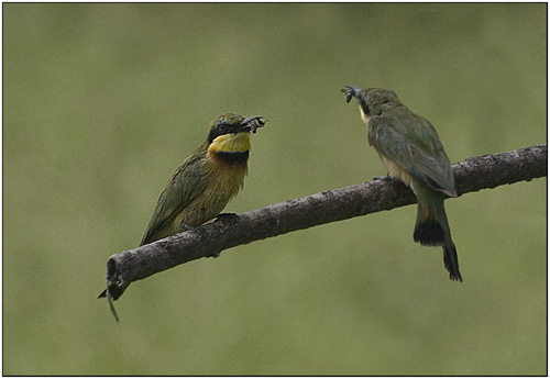 little bee eaters with bees,tanzania