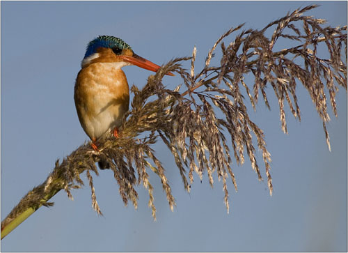 malachite kingfisher,botswana