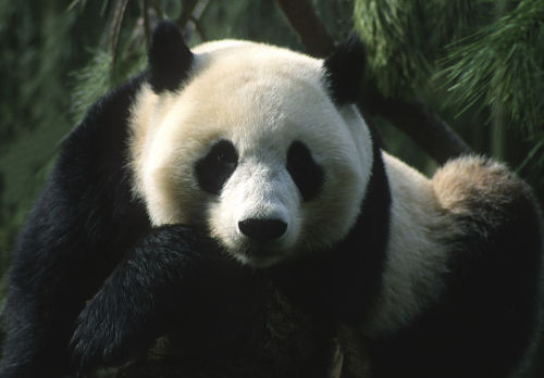 panda san diego zoo
