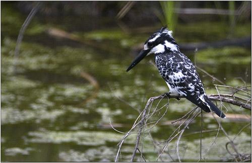 pied kingfisher,tanzania