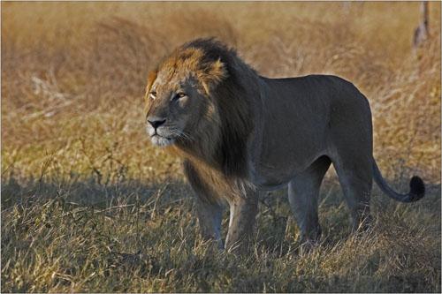 proud lion,botswana