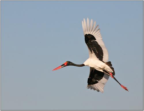 saddle billed stork,botswana