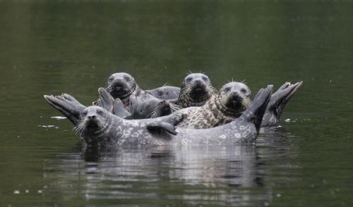 seals basking canada