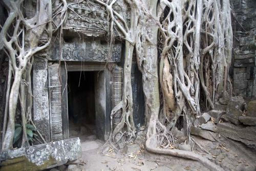strangler fig tree roots ta prohm temple