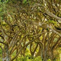 Pohutukawa Tree New Zealand