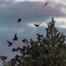 Starlings 6-1-4