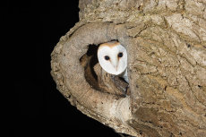 Barn owl in ash tree