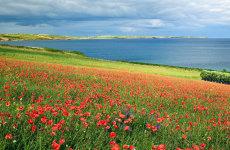 Poppies, Duneen, Clonakilty