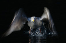 Herring gull take off