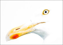 Herring gull abstract