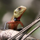 Crested Tree Lizard