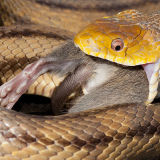 Yellow Rat Snake with Rat