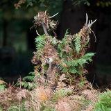 Red Deer in Bracken