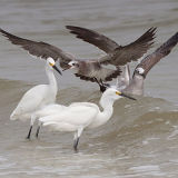 Snowy Egrets and Laughing Gulls